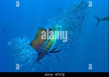 Voilier (Istiophorus albicans) sardine chasse l'école, péninsule du Yucatan, au Mexique. Des Caraïbes. Banque D'Images
