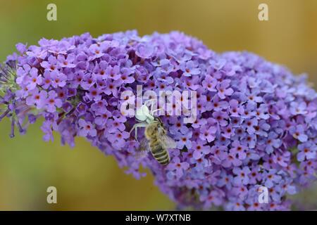 Araignée crabe (Misumena vatia) avec une abeille (Apis mellifera) sur Buddleia (Buddleja davidii) Surrey, Angleterre, juillet. Banque D'Images