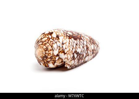 Cône Textile shell (Conus textile) Shell, d'espèces venimeuses fortement. Banque D'Images