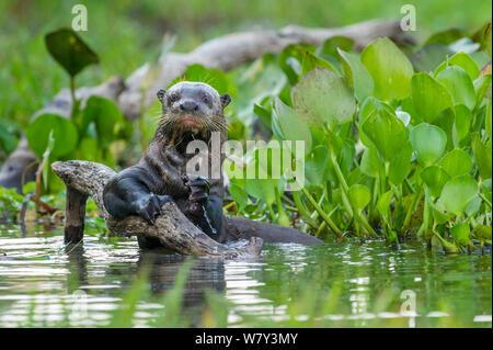 La loutre géante (Pteronura brasiliensis) s'accrochant à une branche dans un lagon au large du fleuve Paraguay, Taiama réserver, dans l'ouest de Pantanal, Brésil, Amérique du Sud.