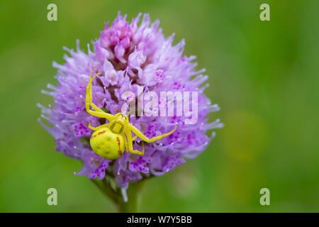 Houghton (Misumena vatia araignée crabe) sur Globe orchid (Traunsteinera globosa) Nordtirol, Alpes autrichiennes, juillet. Banque D'Images