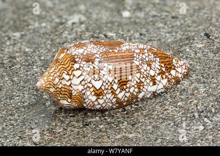 Cône Textile shell (Conus textile) sur la plage, une espèce venimeuse, Bornéo. Banque D'Images