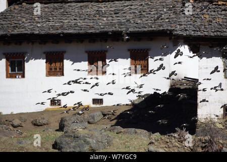 Pigeon (Columba leuconota Neige) troupeau battant passé, maison montagne Kawakarpo, Meri Snow Mountain National Park, province du Yunnan, en Chine, en janvier. Banque D'Images