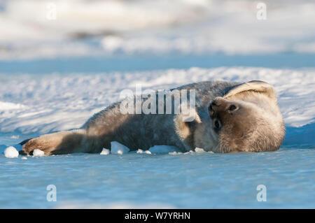 Phoque de Weddell (Leptonychotes weddellii) pup, Prydz Bay, près de la station de Davis, collines Vestfold, Ingrid Christensen, la Côte Est de l'Antarctique, novembre. Banque D'Images
