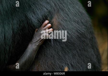 Main de nouveau-né Bonobo (pan paniscus) maintenant les mères sur la fourrure, Lola Ya Bonobo Sanctuaire, République du Congo. Banque D'Images