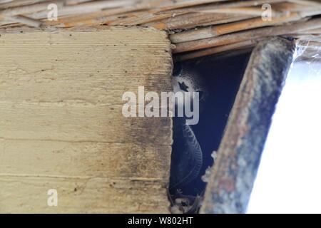 Swift (Apus apus) scrutant les poussins dans la construction du nid, Starcross, Devon, Royaume-Uni, août 2014. Banque D'Images
