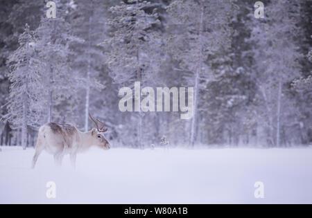Le renne (Rangifer tarandus) dans la forêt enneigée, Finlande, janvier. Banque D'Images