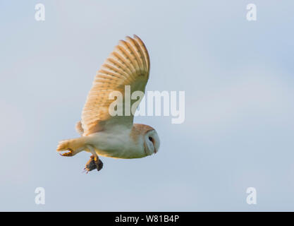 Effraie des clochers Tyto alba en vol transportant un champ vole à la fin de soleil du soir. Banque D'Images