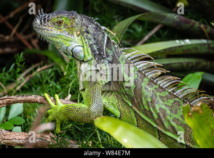 Close-up of a wild green iguana dans un West Palm Beach, Floride quartier résidentiel. (USA)