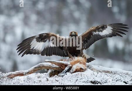 L'Aigle royal (Aquila chrysaetos) avec des ailes pour mineurs répartis sur le renard roux (Vulpes vulpes) carcasse, Norvège Janvier Banque D'Images