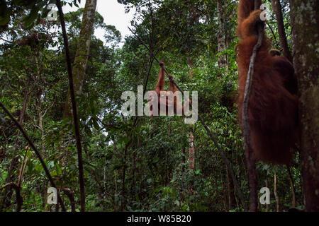 L'orang-outan de Sumatra (Pongo abelii) femmes 'Sandra' âgé de 22 ans exerçant son bébé fille 'Sandri' âgés de 1-2 ans balancer par les arbres avec 'mâles adultes âgés de 26 ans Halik' au premier plan. Parc national de Gunung Leuser, Sumatra, Indonésie. Remis en état et publié (ou les descendants de ceux qui ont été libérés) entre 1973 et 1995. Banque D'Images