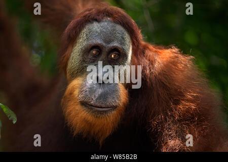L'orang-outan de Sumatra (Pongo abelii) jeune homme portrait. Parc national de Gunung Leuser, Sumatra, Indonésie. Remis en état et publié (ou les descendants de ceux qui ont été libérés) entre 1973 et 1995. Banque D'Images