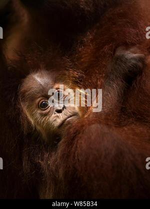 L'orang-outan de Sumatra (Pongo abelii) 'Casa' bébé de sexe masculin âgés de 1-2 ans accroché à sa mère - portrait . Parc national de Gunung Leuser, Sumatra, Indonésie. Remis en état et publié (ou les descendants de ceux qui ont été libérés) entre 1973 et 1995. Banque D'Images