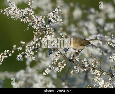 « Récent (Phylloscopus collybita) perché dans le nerprun, Norfolk, UK Avril. Banque D'Images