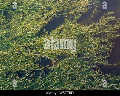 Arrière-plan de marais, la texture des algues dans l'eau verte Banque D'Images