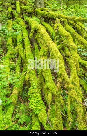 Branches couvertes de mousse sur un arbre tombé dans la forêt Banque D'Images