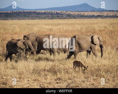 Troupeau d'éléphants d'Afrique Tanzanie