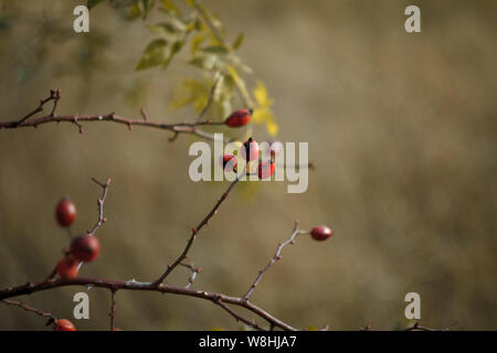 Close up of red fruits de rose musquée sur branches dénudées sur un arrière-plan flou d'un pré et de la forêt d'automne, selective focus Banque D'Images