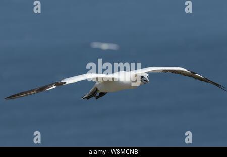 Une belle, fou de Bassan Morus bassanus, volant au-dessus de la mer au Royaume-Uni.