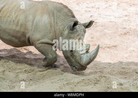 Portrait de rhino, profil. Rhino dans la poussière et d'argile promenades. Banque D'Images