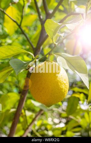Ripe fruit citron accroché sur une branche, sun flare. Fruit jaune citron lime agrumes frais naturel avec des feuilles. Lemon Tree Fruits Banque D'Images