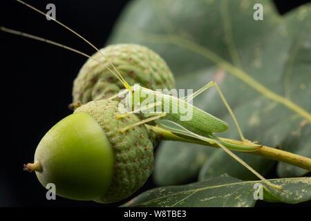 Un chêne Bush-cricket, Meconema thalassinum, sur une feuille de chêne et de glands photographié sur un fond noir. Nord du Dorset England UK GO