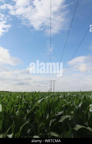 Champ de mûrissement en soleil d'été sur un soir d'été avec ciel bleu et nuages sur un champ de maïs en Grande-Bretagne Banque D'Images