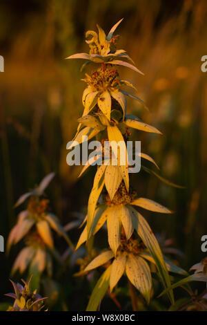 La végétation dans les zones humides de l'été sur une belle soirée. Refuge de la sauvagine Dixon, Illinois, USA Banque D'Images