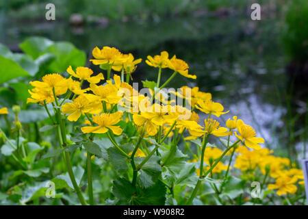 Caltha palustris Populage des marais fleurs jaunes sur fond de l'eau de l'étang des marais, selective focus. Fleurs de marais toxiques sauvages, Marigold Calth