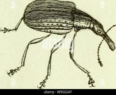 Image d'archive à partir de la page 220 de [Curculionidae] (1800) Banque D'Images