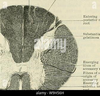 Image d'archive à partir de la page 628 de Cunningham's Text-book d'anatomie (1914). Cunningham's Text-book d'anatomie cunninghamstextb00cunn Année: 1914 ( Entrant nerf postérieur racine- AMT.ROOi Fig. 528.-Schéma de l'origine de la moelle épinière nerf accessoire (après Bruce). Accessoire de filum émergents des fibres nerveuses de la colonne vertébrale de l'origine des nouveaux accessoires nerf antérieur racine- Fig. 529.-Section à travers la partie supérieure de la moelle cervicale Eegion de la medulla (Orang). De l'origine de la partie de la colonne vertébrale de l'accessoire nerf. immédiatement derrière les cellules nerveuses qui donnent naissance aux fibres de l'ant Banque D'Images