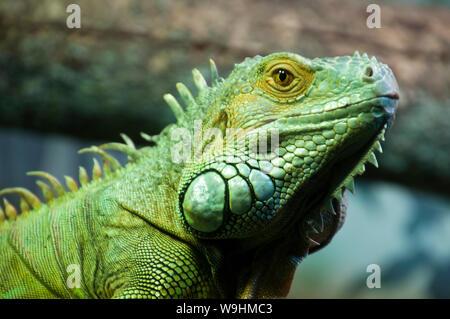 Sydney, Australie, le visage d'un iguane vert