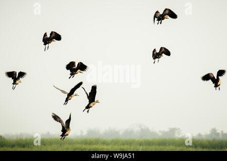 Suivre le chef. Un troupeau d'oiseaux Cormoran indien in motion vol au-dessus du lac. Les oiseaux de mer dans la nature. La migration des oiseaux. Concept de la liberté. Vedantan Banque D'Images