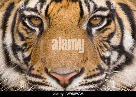 Tigre du Bengale (Panthera tigris tigris), Bandhavgarh, Madhya Pradesh, Inde Banque D'Images