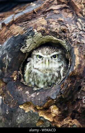 Chouette chevêche (Athene noctua), captive, Barn Owl Centre, Gloucestershire, Angleterre, Royaume-Uni, Europe
