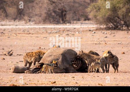 L'hyène tachetée, le chacal à dos noir Parc national d'Etosha, Namibie, Afrique, (Crocuta crocuta, Canis mesomelas) Banque D'Images