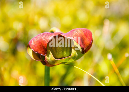 Sarracénie pourpre, parc national Kejimkujik Kejimkujik Bord, Nationalpark, Nouvelle-Écosse, Canada, (Sarracenia purpurea)