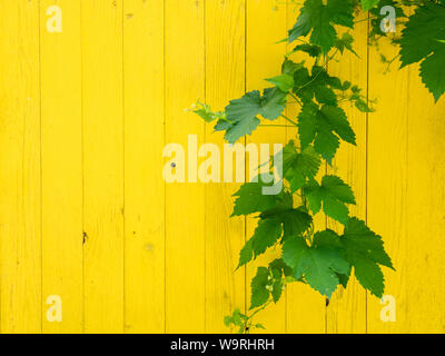 Feuilles de vigne verte juteuse sur le mur en bois jaune. Arrière-plan modèle d'été naturel. Banque D'Images