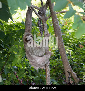 Trois-toed sloth, Brown-throated trois orteils, sloth, Bradypus variegatus, Parc National Manuel Antonio, CR Banque D'Images