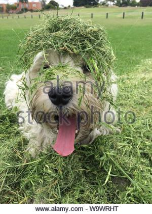 Caniche blanc recouvert d'herbes Banque D'Images
