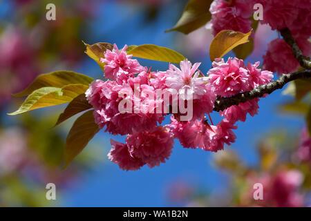 Les cerisiers en fleurs au printemps