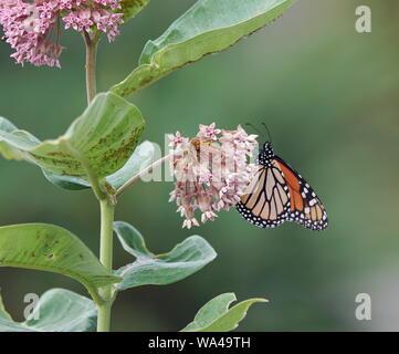 La recherche de nectar aux papillons Banque D'Images