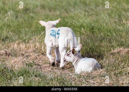 Agneaux de printemps bébé profiter du soleil du printemps dans le a permis de Suffolk Banque D'Images