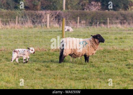Après l'agneau de printemps bébé après sa mère dans un domaine agricole de Suffolk Banque D'Images