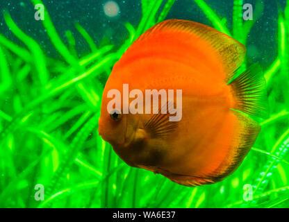 Closeup portrait of a des poissons de disque orange, tropical populaires animal du bassin amazonien d'Amérique du Sud, l'espèce de poissons exotiques