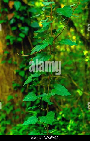 Arrière-plan vertical - tige de Colchide lierre sur un fond vert de forêt subtropicale
