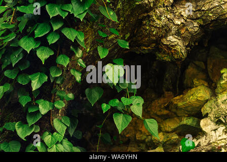 Contexte - colchide lierre sur les racines des arbres moussus sec