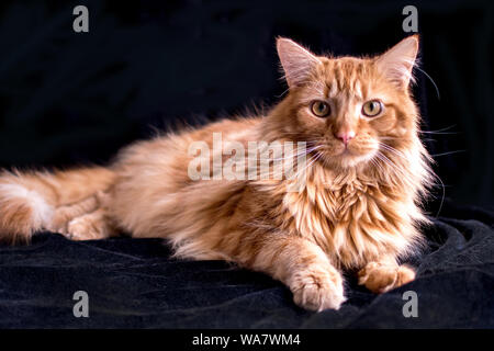 Beau chat tigré orange posant sur un fond noir