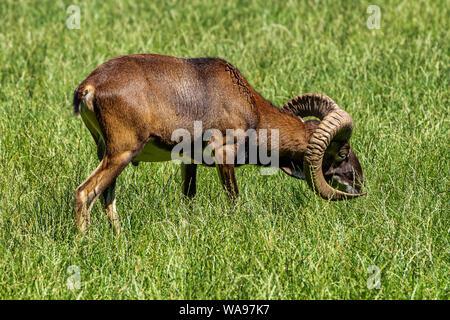 Mouflon européen, Ovis orientalis musimon. Des animaux de la faune. Banque D'Images