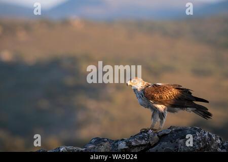 Aigle de Bonelli (Aquila fasciata) mâle adulte se nourrit de rock. L'Estrémadure. L'Espagne. Banque D'Images